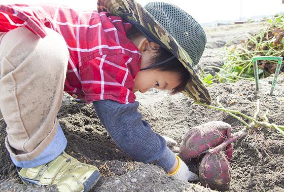 さつまいも芋掘りのイメージ