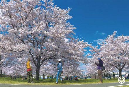 春 サイクリングロードの桜