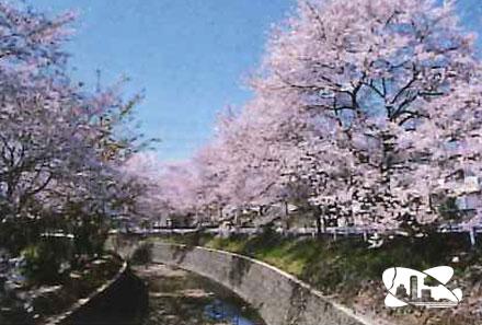 東川桜並木